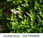 honey bee gathering pollen from ... | Shutterstock . vector #1027054696