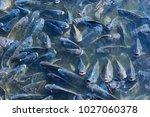 Feeding Of Tilapia  Freshwater...