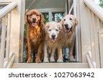 Three Golden Retriever Dogs...
