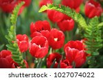 red tulips  tulipa  form a... | Shutterstock . vector #1027074022