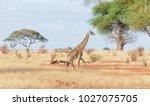 closeup of masai giraffe ... | Shutterstock . vector #1027075705