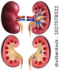 kidneys and kidney stones on... | Shutterstock .eps vector #1027078522