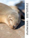 sleeping baby sea lion...   Shutterstock . vector #1027105312