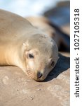 baby sea lion sunbathing at the ...   Shutterstock . vector #1027105318