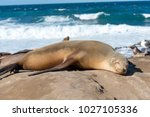 baby sea lion sunbathing at the ...   Shutterstock . vector #1027105336