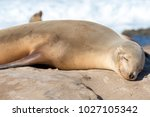 baby sea lion sunbathing at the ...   Shutterstock . vector #1027105342