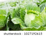 Close Up On Fresh Cabbage In...