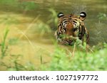 Tigers Are Soaked In Water To...