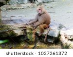 baboon. the body of the baboon... | Shutterstock . vector #1027261372