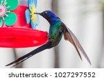 Swallow Tailed Hummingbird At...