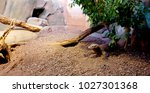 iguana in zoo. varanus... | Shutterstock . vector #1027301368