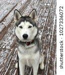 Husky Dog Walking In Snow