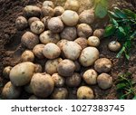 fresh organic potatoes in the... | Shutterstock . vector #1027383745