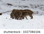 baby boar in the snowy forest.   Shutterstock . vector #1027386106