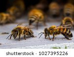 honey bees at coming and going... | Shutterstock . vector #1027395226