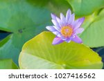 full bloom lotus flower on...   Shutterstock . vector #1027416562