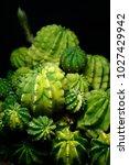 Small photo of Variegated Echinopsis cactus