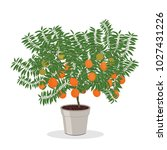 dwarf orange tree in the flower ...   Shutterstock .eps vector #1027431226
