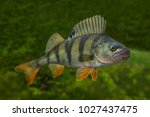 Fishing. Live perch fish isolated on natural green background