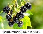 close up of ripe blackberry in... | Shutterstock . vector #1027454338