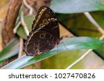 Small photo of Brown Lepidoptera butterfly on a leaf
