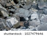 european shag staying on a rock | Shutterstock . vector #1027479646