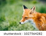 portrait of young little red... | Shutterstock . vector #1027564282