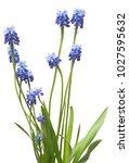 muscari flowers blue grape...   Shutterstock . vector #1027595632