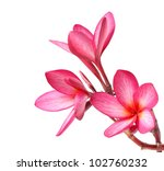Stock photo frangipani flowers isolated on the background white 102760232