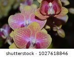 flowers of phalaenopsis orchids | Shutterstock . vector #1027618846
