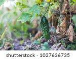 the last crop of cucumbers in... | Shutterstock . vector #1027636735