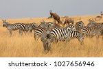 this is a picture a herd of... | Shutterstock . vector #1027656946
