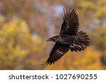 The Common Raven  Corvus Corax...