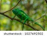 the common chameleon or... | Shutterstock . vector #1027692502