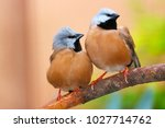 two cute black throated or... | Shutterstock . vector #1027714762