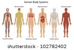 illustration of the human body... | Shutterstock . vector #102782402