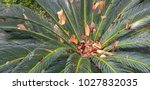 Cycadales Evergreen Leaves Wit...