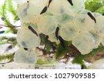 frog eggs hatching process 3  7 ...   Shutterstock . vector #1027909585