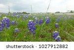 View Of Bluebonnet Flower Fiel...