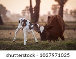 Brown And White Calf With His...