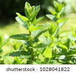 closeup of fresh mints leaves... | Shutterstock . vector #1028041822
