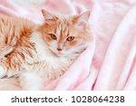 a beautiful red cat lies on a... | Shutterstock . vector #1028064238
