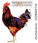 Rhode Island Red Rooster....