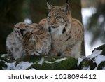 eurasian lynx  lynx lynx ...   Shutterstock . vector #1028094412
