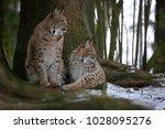 eurasian lynx  lynx lynx ...   Shutterstock . vector #1028095276