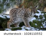 eurasian lynx  lynx lynx  young ...   Shutterstock . vector #1028110552
