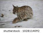 eurasian lynx  lynx lynx  young ...   Shutterstock . vector #1028114092