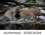 eurasian lynx  lynx lynx  two...   Shutterstock . vector #1028126266