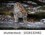 eurasian lynx  lynx lynx  young ...   Shutterstock . vector #1028132482