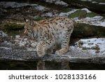 eurasian lynx  lynx lynx  young ...   Shutterstock . vector #1028133166